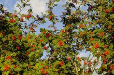 Red rowan berries on a rowan tree Detailed Image, Rowan, Berries, Autumn, Red, Photography, Photograph, Fall Season, Fotografie