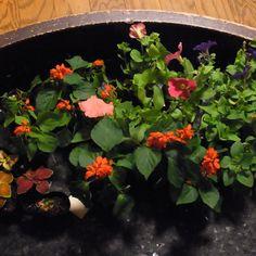 水やりのメンバーに感謝しつつ、お花の苗も頂きました。