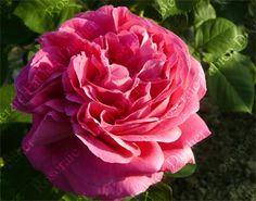 Madame Létuvé de Colnet est une grosse rose Bourbon très parfumée, très double, d'un rose soutenu. La floraison remonte en cours de saison. Arbuste de 1,5 m. Bourbon.Vigneron, 1887.