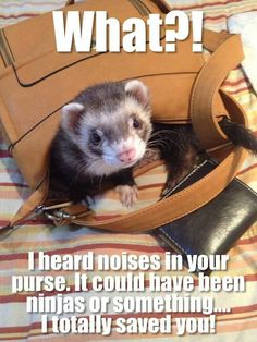 He's helping! Any Ferret-Lovers find their fur-babies in their luggage or purses lately? Ferrets Care, Baby Ferrets, Funny Ferrets, Pet Ferret, Animals And Pets, Funny Animals, Cute Animals, Animals Beautiful, Animal Quotes