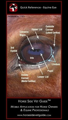 Database for Horse Side Vet Guide. Horse Anatomy, Eye Anatomy, Animal Anatomy, Paint Horse, Horse Information, Horse Care Tips, Horse Facts, Animal Science, Veterinary Medicine