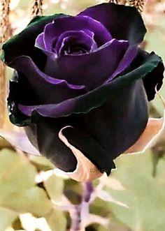 Black Magic Purple and Black Rose Bush Flower 12 PCS Seeds Fragrant Beautiful Rose Flowers, Unusual Flowers, Rare Flowers, Black Flowers, Amazing Flowers, Black Rose Flower, Red Roses, Rose Violette, Gothic Garden