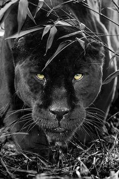 Black Jaguar by Colin Langford,,