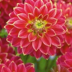 Dahlia 'Mister Optimist'