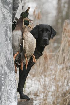 4edf16280507f Lab, after a job well done. Waterfowl Hunting, Duck Hunting, Hunting Dogs