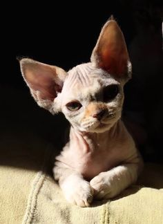 I Love Cats, Crazy Cats, Cool Cats, Cute Baby Animals, Animals And Pets, Funny Animals, Sphynx Gato, Hairless Cats, Beautiful Cats