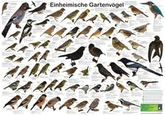Native garden bird posters to identify the birds around us – Holidays Planet Poster, Reading Response Activities, Theme Nature, Bird Identification, Reading Stations, Love Bears All Things, Bird Poster, Animal Posters, Field Guide