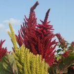 Amaranth eternal unfading flower. Амарант вечный неувядающий цветок