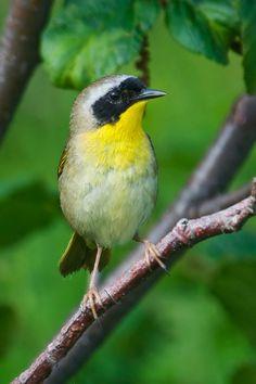 Common Yellowthroat - male - Grand Manan Island - New Brunswick-02