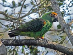 Kongo parrot (Poicephalus gulielmi)