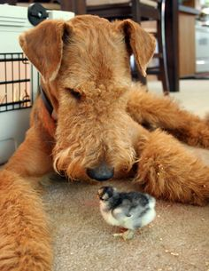 Airedale Terrier...I really love this pic