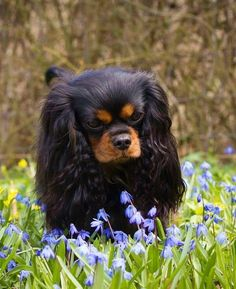 Lovely Black and Tan Cavalier - Spring!
