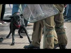"""Negro Matapacos: Chile's """"riot dog"""" Cute Creatures, Fantasy Creatures, Street Dogs, Stray Dog, Magazine Art, Police, Cute Animals, Told You So, Frases"""