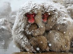 Japanese macaques, commonly referred to as snow monkeys, huddle together at an open-air hot spring at the Jigokudani (Hell's Valley) Monkey Park in the town of Yamanouchi, Nagano prefecture, Japan Picture: KAZUHIRO NOGI/AFP/Getty Images Monkeys In Hot Springs, Snow Monkey Park, Jigokudani Monkey Park, Macaque Monkey, Japanese Macaque, Japan Picture, Animal Species, Monkey Species, Snow