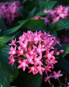 Butterfly™ Deep Pink Pentas, Egyptian Star Cluster,Pentas lanceolata 'Butterfly Deep Pink', copyright © almostedenplants.com