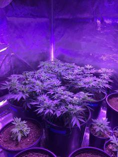 melissapot:  weed marijuana herb 420 strain stoner ganjacannabis...
