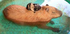 capybara and guinea pig