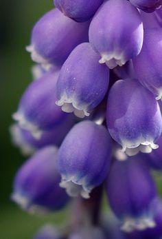 ~~ Blue Grape Hyacynth by Len Matthews ~~