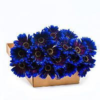 Gerbera Daises - Tinted - Blue & Purple - 80 Stems - Sam's Club I love the idea of these with sunflowers!!