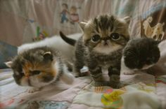 exotic shorthair kittens - MEOW! Persian cats and kitties