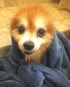 you roll in  and have to have a bath on Sunday Funday!  . . . .  Follow: us: -@friendly_pomeranian for more   Comment below if You like this  Via: @miapomeranian    Tag your friends  Thank you so much !!!   #friendlypomeranian #pomeraniannetwork #pomeranianclub #pomeraniansale #pomeranianspitz #pomeraniansofinstagram #pomeranianx #pomeranianbybeer #pomeranianloverpost #pomeranianboy #pomeranianmania #pomeraniansclub #pomeranianyorkie #ilovemypomeranian #pomeranianslove #instapomeranian…