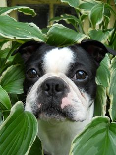 """look at that face he's saying """"I did not go in the neighbor's yard and tear up his hostas. English Bulldog Puppies, Baby Puppies, Corgi Puppies, Terrier Dog Breeds, Terrier Puppies, Boston Terrier Love, Boston Terriers, Baby Pugs, French Bulldogs"""