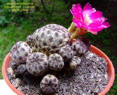 Sulcorebutia rauschii 'rubra' WR289   Flickr - Photo Sharing!