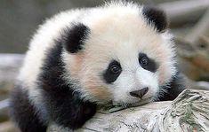 Sweet baby panda.