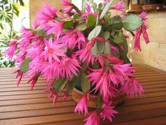 ✿*¨* Cactus en Flor *¨*✿   Cáctus SANTA TERESITA