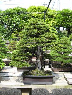 Kimura bonsai