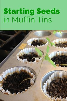 Seed Starting in Muffin Tins