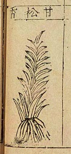 甘松香(スパイクナード、ナルデ), Nardostachys jatamansi (Spikenard), 本草綱目 第1冊. 李時珍, Bencao Gangmu,  Chinese materia medica, written by Li Shizhen  (1590)