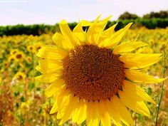 Lavendelblüte in der Provence France, Dandelion, Tours, Flowers, Plants, Image, Art, Viajes, Art Background