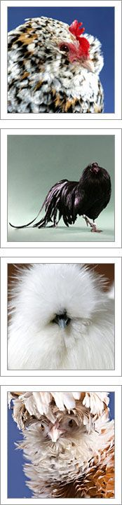 Chicken Breed List    Tool to pick the best chicken for you.  Lots of good chicken information.