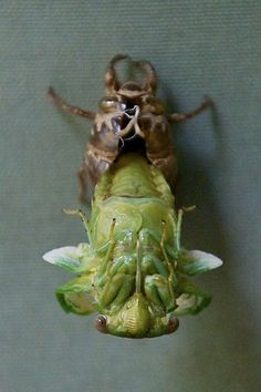 Cicada emerging from its old exoskeleton. Cool Insects, Bugs And Insects, Weird Creatures, All Gods Creatures, Cool Bugs, A Bug's Life, New Skin, Beautiful Bugs, Praying Mantis