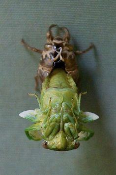 Cicada emerging from its old exoskeleton.