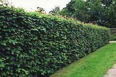 Family Sapindaceae or Aceraceae; Genus Acer; Species campestre; Hedge Maple