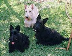 The Scottish Terrier makes a very good watchdog. It is inclined to be stubborn, however, and needs firm, but gentle handling from an early age or it will dominate the household. Socialize well. This breed is sensitive to correction, therefore if you are firm and confident, the dog should respond to you.