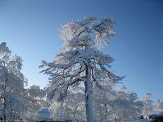 Saariselkä, snowy tree. Saariselän mökit ja ohjelmapalvelut #saariselkä #saariselka #saariselankeskusvaraamo #lapland #astueramaahan #stepintothewilderness #saariselkaMTB http://www.saariselka.com