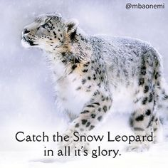 Take a detour from your routine! This long weekend plan your trip to the wild Kaziranga National Park and take a glimpse of the amazing wildlife. Here you are sure to sight the breathtaking, majestic Snow Leopard in it's natural habitat. Via MBAonEMI  #snowleopard #tourist #travel #touristatrraction #nature #animalstagram #snow #chillin #meow #glory #India #big #cat #bigcatsofinstagram #himalayanhighlands #mountaincat