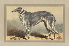 Vintage Print of a Borzoi, the Champion Ivan Turgeneff, 1907 - Maud Earl
