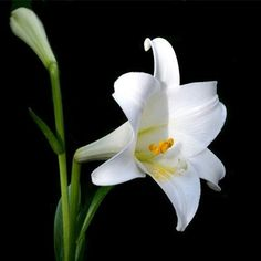 stylized lily idk if good pic national flower of italy. Black Bedroom Furniture Sets. Home Design Ideas