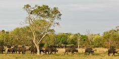 Sabi Sabi Private Game Reserve, South Africa - photo of buffalo herd by Jabu Mathe
