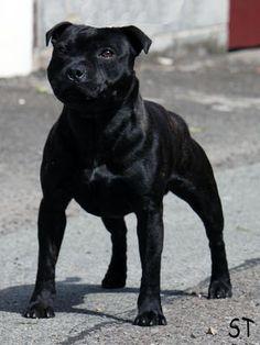 Ashbull O'Dare | Staffordshire Bull Terrier