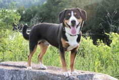 Imzadi Data v Eagleheart- Entlebucher Mountain Dog Entlebucher Mountain Dog, Laughing Dog, Puppy Mills, Mountain Dogs, Livestock, Best Part Of Me, Doggies, Dog Breeds, Cute Dogs