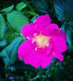 horsmatee-hurmaa-villiinny-villiyrteista - kokeile myös äkäruusua Herbs, Plants, Herb, Plant, Planets, Medicinal Plants