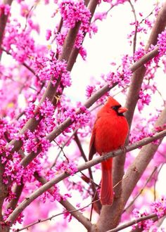Cardinal bird sitting in a cherry blossom tree
