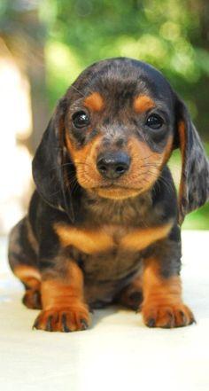 Sweet little Doxie puppy!  #Dachshund