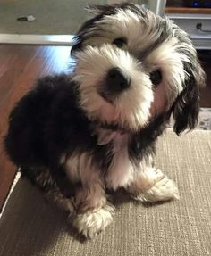 Dogs are said to be some of the best pets to keep. As a matter of fact, they are referred to as man's best friends. There are many breeds of dogs Animals And Pets, Baby Animals, Funny Animals, Cute Animals, Havanese Puppies, Cute Puppies, Dogs And Puppies, Schnauzer Puppies, Miniature Schnauzer