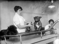 A bulldog is massaged by a vibro-massaging machine in a luxury beauty salon for pets in Paris in 1930 - a time when dog shows were becoming increasingly popular